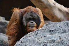 危险的bornean猩猩在岩石栖所 图库摄影