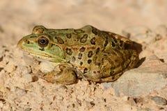 危险的Chiricahua豹子青蛙Lithobates chiricahuensis 库存照片