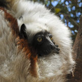 危险的Coquerel的Sifaka狐猴(Propithecus coquereli) 图库摄影