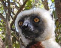 危险的Coquerel的Sifaka狐猴(Propithecus coquereli) 库存照片