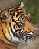 危险的sumatran老虎 免版税库存照片