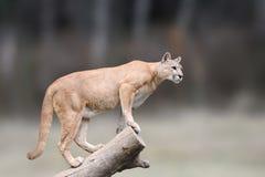危险美洲狮坐分支在秋天森林背景中 图库摄影