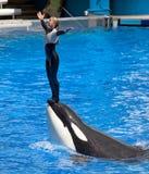 危险虎鲸 免版税库存照片