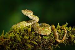 危险蛇在自然栖所 睫毛棕榈Pitviper, Bothriechis schlegeli,在绿色青苔分支 在t的毒蛇 免版税库存照片