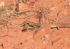 危险蛇 库存图片