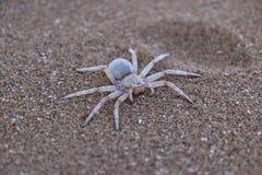 危险蜘蛛纳米比亚沙漠 免版税库存照片