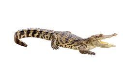 危险鳄鱼开放嘴 库存图片