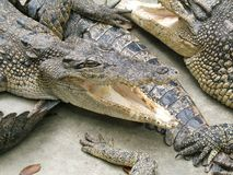 危险鳄鱼 免版税库存图片