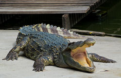 危险鳄鱼 免版税库存照片