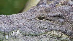 危险鳄鱼lounging由绿色水,概略的皮肤细节河  股票视频