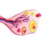 卵巢循环侧视图  免版税图库摄影