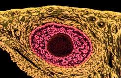 卵巢滤泡 光学显微学 库存图片