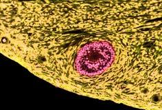 卵巢滤泡 光学显微学 免版税库存照片
