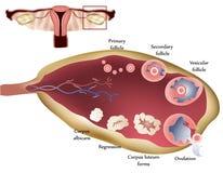 卵巢 向量例证