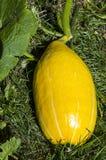 卵形南瓜 库存照片