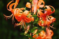 卷丹,拉特。百合属植物 免版税图库摄影