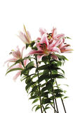 卷丹,百合属植物lancifolium,特写镜头 免版税图库摄影