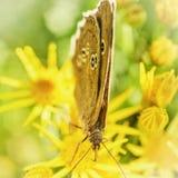 卷发蝴蝶哺养 图库摄影
