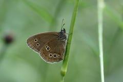 卷发蝴蝶, Aphantopus hyperantus 图库摄影