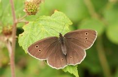 卷发蝴蝶Aphantopus hyperantus在叶子栖息 免版税库存照片