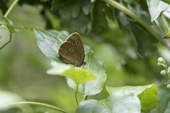 卷发蝴蝶Aphantopus hyperantus特写镜头 图库摄影
