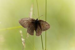 卷发蝴蝶Aphantopus hyperantus 库存图片