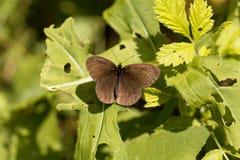 卷发蝴蝶Aphantopus hyperantus 免版税库存照片