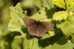 卷发蝴蝶Aphantopus hyperantus 库存照片