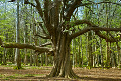 卷曲扭转的树 图库摄影