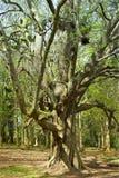卷曲扭转的树 免版税库存照片