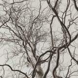 卷曲拔塞螺旋柳树光秃的分支黑白照片 库存图片