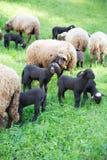 卷曲毛皮绵羊和羊羔在绿色瑞士草甸 免版税库存照片