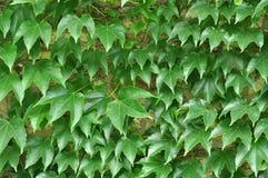卷曲狂放的葡萄绿色在砖石墙离开 免版税库存图片