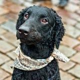 黑卷曲猎犬头  免版税库存照片