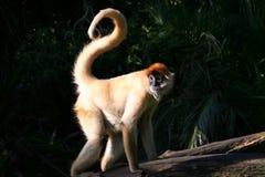 卷曲猴子尾标 免版税库存照片