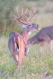 卷曲由在垂直的照片的白尾鹿大型装配架的嘴唇 库存图片