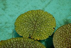 卷曲的waterlilies 免版税图库摄影