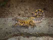 卷曲被盯梢的蜥蜴Leiocephalus carinatus 库存图片