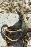 卷曲被盯梢的蜥蜴 库存照片