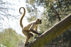 卷曲被盯梢的猴子 免版税图库摄影