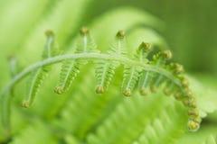 卷曲绿色叶子在森林里 免版税图库摄影
