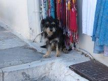 卷毛狗在Oia希腊 免版税库存图片