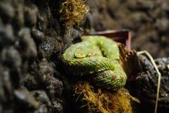 卷起的翠青蛇 库存图片