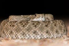 卷起的菱纹背响尾蛇响尾蛇在沙漠 免版税库存图片