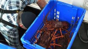 卸载南部的大螯虾抓住入蓝色条板箱 影视素材