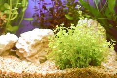 水厂或水生植物或水生杂草 免版税库存图片