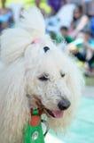 厄梅尔-啤酒舍瓦,以色列-一条白色马戏长卷毛狗的画象在一条绿色领带的, 2015年7月25日 免版税库存图片