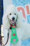 厄梅尔(啤酒舍瓦),在一条绿色领带的以色列白的马戏长卷毛狗, 2015年7月25日 库存图片