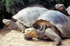 厄瓜多尔加拉帕戈斯巨型海岛草龟 库存照片
