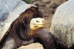 厄瓜多尔加拉帕戈斯巨型海岛草龟 免版税库存图片